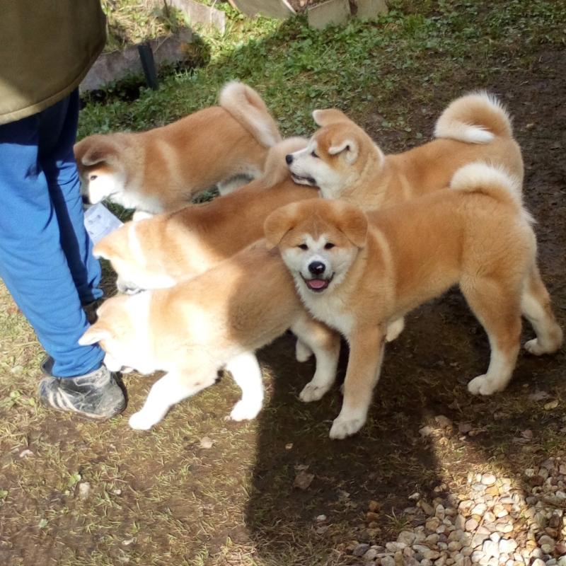 Puppies Akit.inu (Hachiko) show class