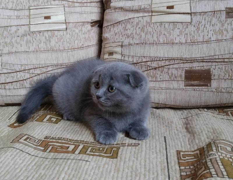 Sell Scottish fold boys blue color