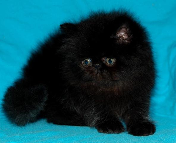 Persian black cat