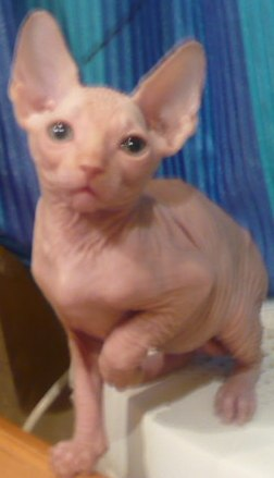 bare, white, blue-eyed sphynx
