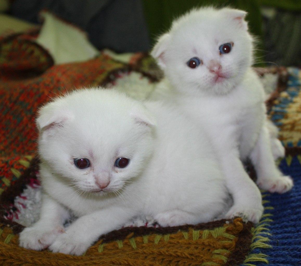 Scottish fold kittens white with blue eyes