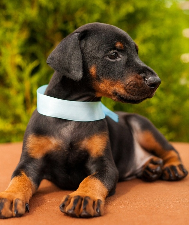 Doberman puppies from Champions