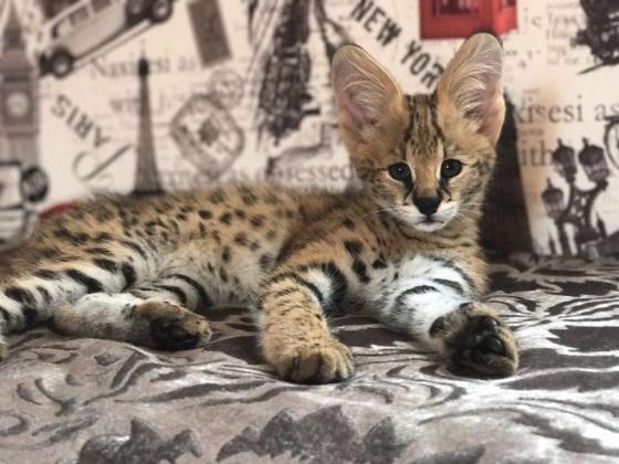 Sell kittens Serval