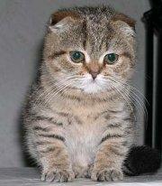 Charming kittens Scottish (Highland)-fold