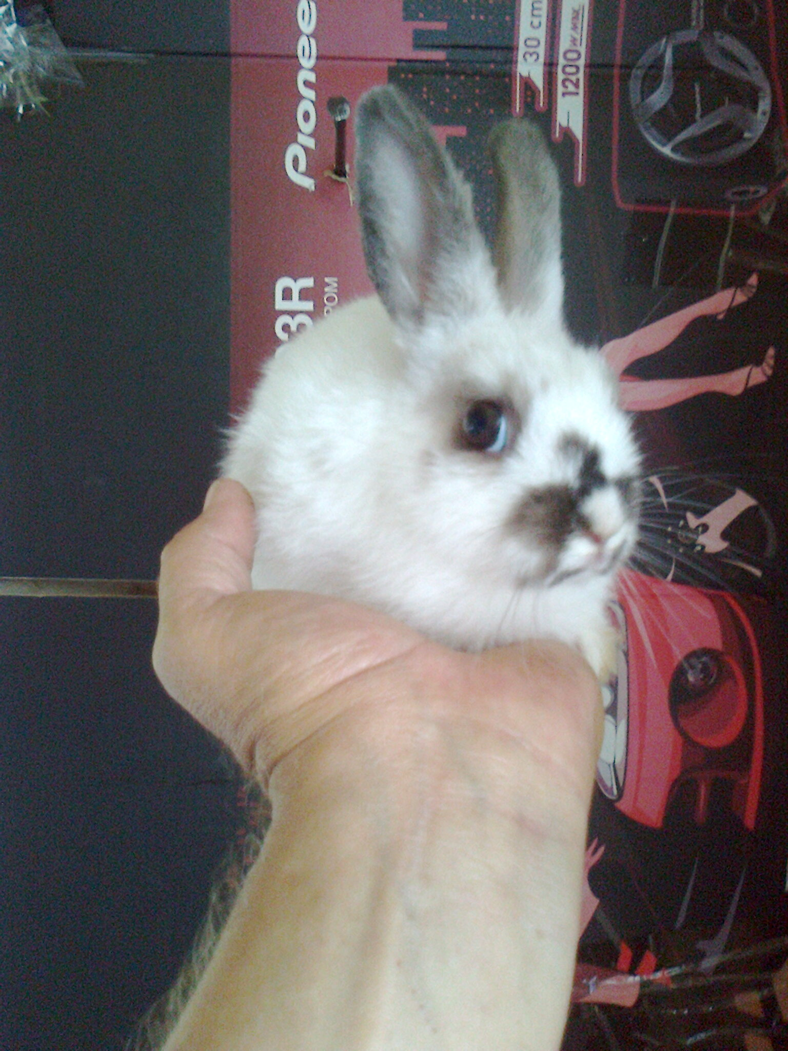 a dwarf rabbit. shipping. you can cage