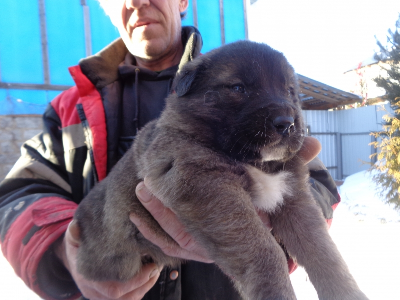 Puppies of Caucasian shepherd dog looking for a house