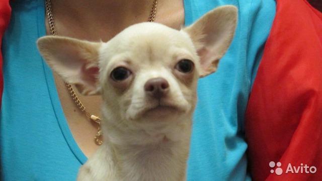 Chihuahua g/W young dog