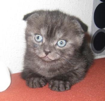 Plush fold kittens scottish fold - kitty black smoke, 2 months