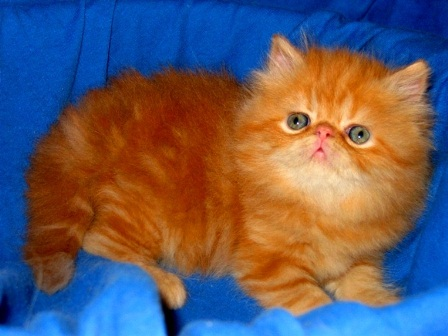 Persian cat red marble Leopold
