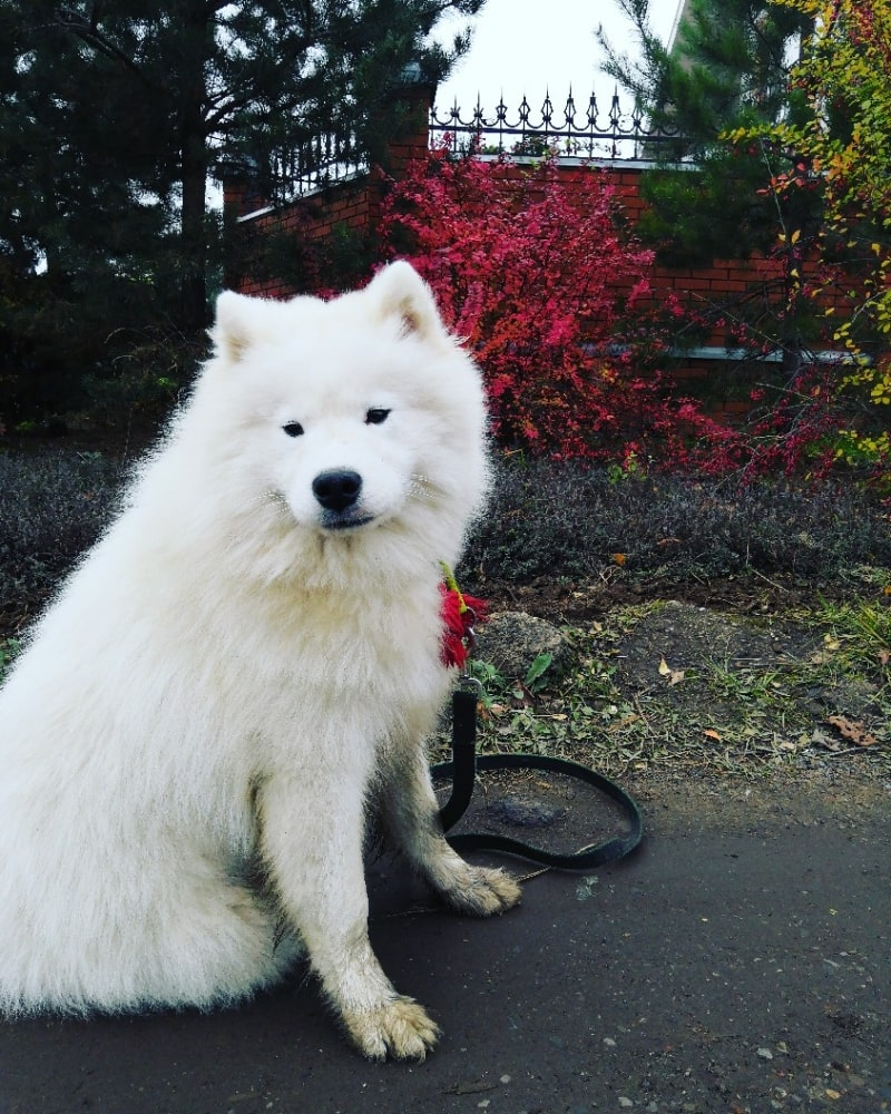 Sell rising of the dog Samoyed