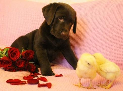Chocolate Labrador puppies — RKF!