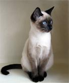 тайские коты и кошки